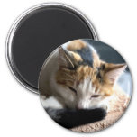 Gato de calicó el dormir imán redondo 5 cm
