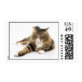 Gato de Coon de Maine con la expresión agujereada Sellos