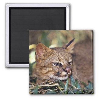Gato de Pampa (colocolo del Felis) Iman De Frigorífico