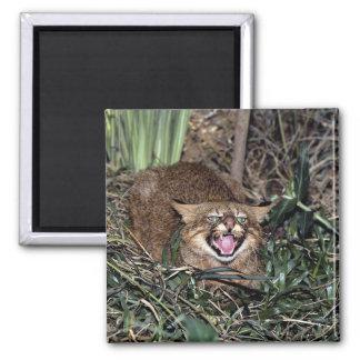 Gato de Pampa (colocolo del Felis) Iman
