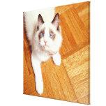 Gato de Ragdoll en el piso, visión elevada Impresión En Lona