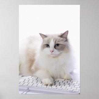 Gato de Ragdoll en el teclado de ordenador Póster
