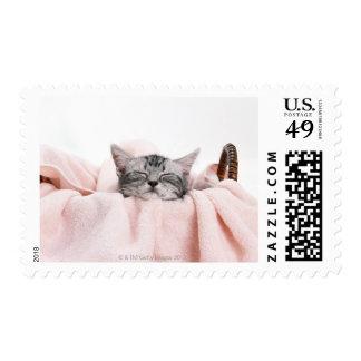 Gato de Shorthair del americano Envio