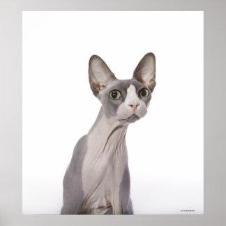 Gato de Sphynx con la expresión sorprendida Posters