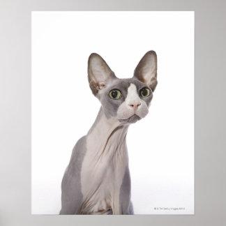 Gato de Sphynx con la expresión sorprendida Póster