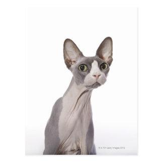 Gato de Sphynx con la expresión sorprendida Tarjeta Postal