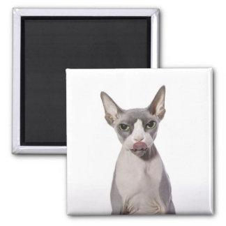 Gato de Sphynx con la lengua hacia fuera Imán Cuadrado