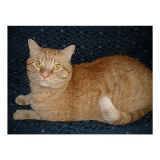 Gato de Tabby anaranjado Poster