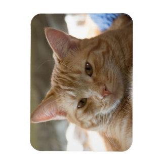 Gato de Tabby anaranjado que cuelga hacia fuera Iman De Vinilo