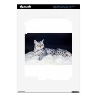 Gato de tabby británico de la plata del pelo corto iPad 3 pegatina skin