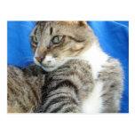 Gato de Tabby contra fondo azul del paño Tarjetas Postales