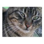 Gato de Tabby inquisitivo con los ojos verdes