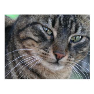 Gato de Tabby inquisitivo con los ojos verdes Postales