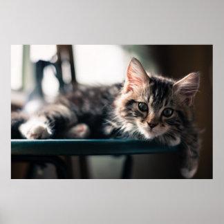 Gato de Tabby masculino joven 2 Póster