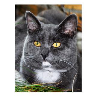 Gato del gris del retrato tarjetas postales