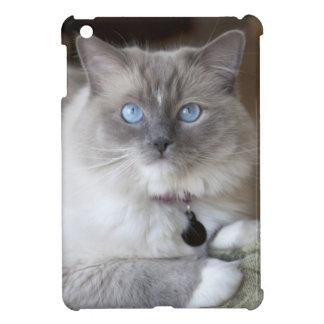 Gato femenino de Ragdoll