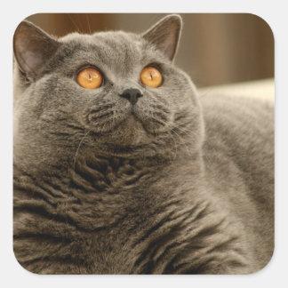 Gato: Gato británico de Shorthair Pegatina Cuadrada