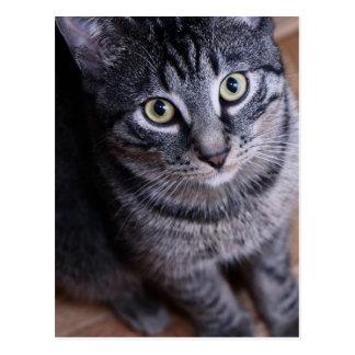 Gato gris adorable tarjetas postales