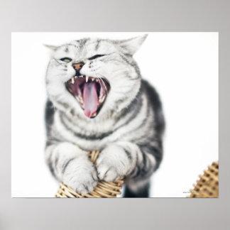 gato gris en el fondo blanco póster