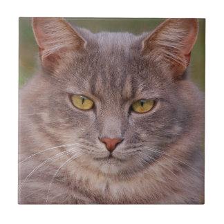 Gato gris hermoso del gato gordo con los ojos de azulejo cuadrado pequeño