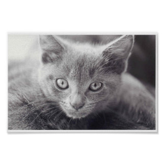 Gato gris posters