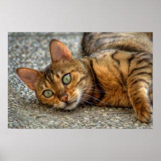 Gato hermoso de Bengala Póster