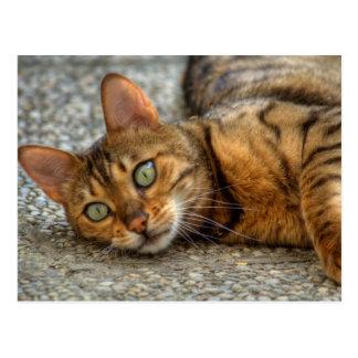 Gato hermoso de Bengala Tarjeta Postal