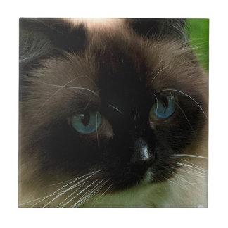 Gato hermoso de Ragdoll Azulejo Cuadrado Pequeño