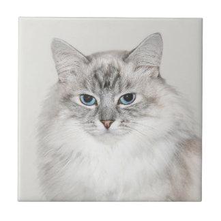 Gato Himalayan del punto azul Azulejos Ceramicos