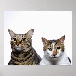 Gato japonés y gato de la Isla de Man en el fondo  Impresiones