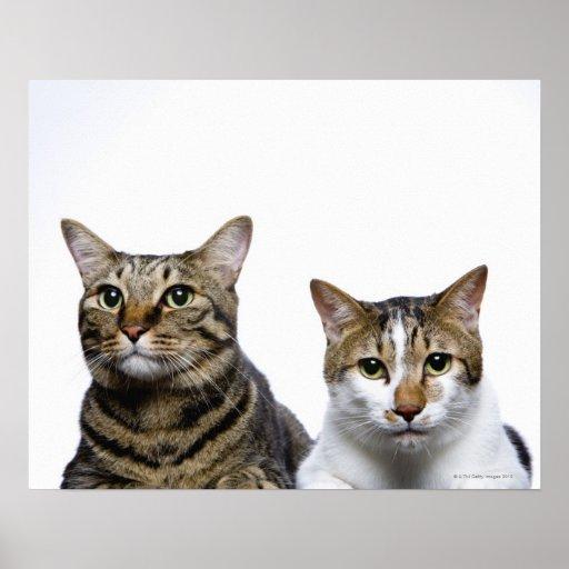 Gato japonés y gato de la Isla de Man en el fondo  Póster