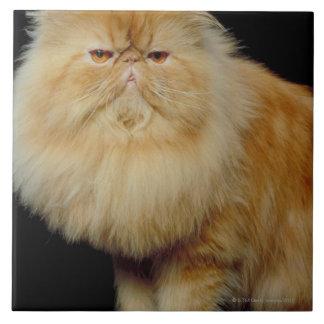 Gato largo ruso del pelo azulejo cuadrado grande
