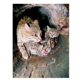 Gato montés asiático tarjeta postal