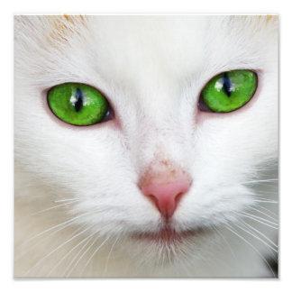Gato nacional con la piel felina del blanco de la fotografias