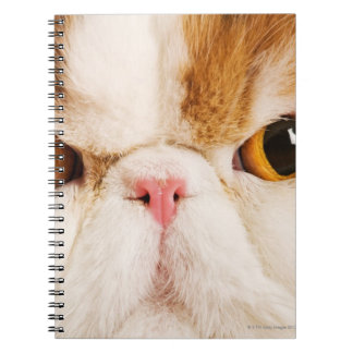 Gato nacional. Persa del Harlequin del calicó. Notebook