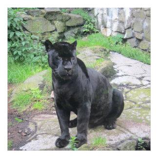 Gato negro grande de Jaguar en sentarse en roca Fotografías