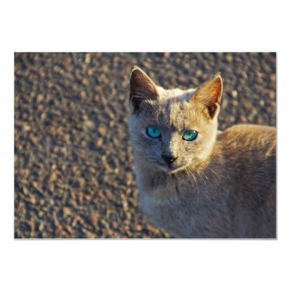 Gato observado azul