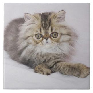 Gato persa, catus del Felis, Tabby de Brown, gatit Azulejo Cuadrado Grande