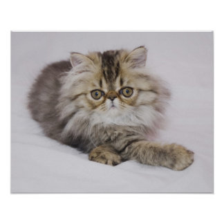 Gato persa, catus del Felis, Tabby de Brown, gatit Póster