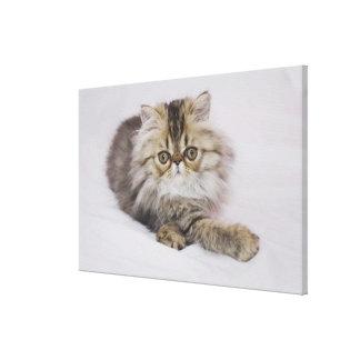 Gato persa, catus del Felis, Tabby de Brown, Impresiones En Lona