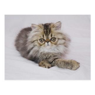 Gato persa, catus del Felis, Tabby de Brown, Postal