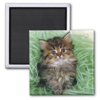 Gato persa; es una de las más viejas razas del imán cuadrado