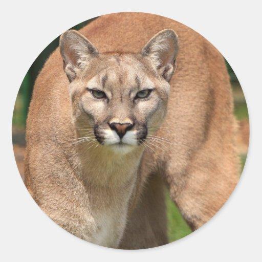 Gato salvaje, animales ronroneo, puma pegatina redonda