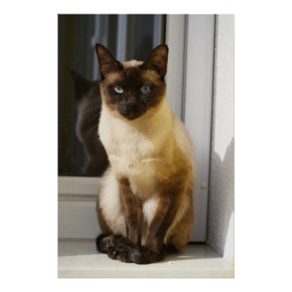 Gato siamés hermoso póster