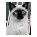 Gato siamés tarjeta postal