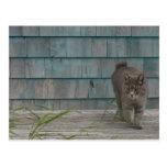 Gato sin la cola tarjeta postal