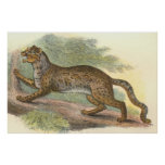 Gato veteado, marmorata del Felis Poster
