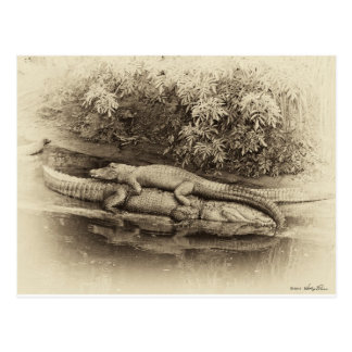 Gator Back Ride Postcards