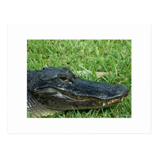 Gator in grass postcard