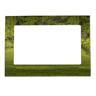 Gator Lurking in Duckweed - Nature Photograph Picture Frame Magnets
